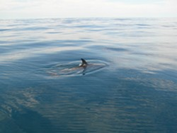 Noosa Fishing Dolphin